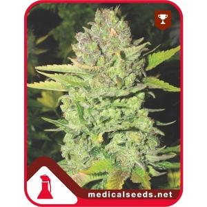 Devil Fruit 3uds Medical Seeds