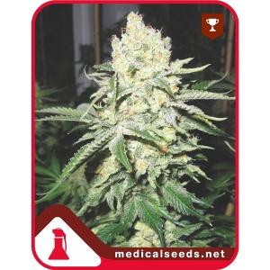 No Name 3uds Medical Seeds