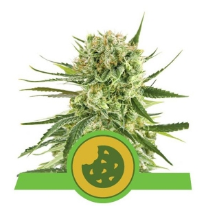 Auto Royal Cookies 3uds Royal Queen Seeds